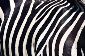 zebra pattern free download zebra stripes free photo iso republic