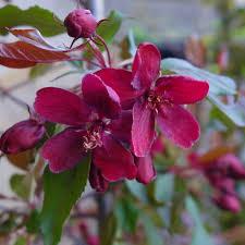 Profusion Flowering Crabapple - malus royalty buy flowering crab apple tree crab apple trees