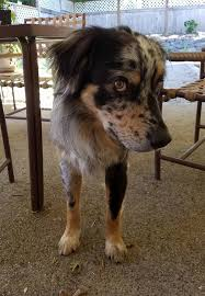 south dakota australian shepherd aussierescue placement helpline arph u003e adopt u003e by region