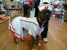 Boxer Dog Halloween Costume 68 Boxer Costumes Images Boxer Love Boxers