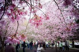 beautiful taiwan during cherry blossom season youtube