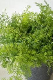 compact sprenger asparagus fern monrovia compact sprenger