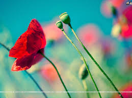 poppy wallpapers poppy live images hd wallpapers fungyung com