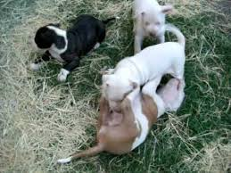 american pitbull terrier game bred bloodlines pitbull pups for sale texas pride grand champion bloodline youtube