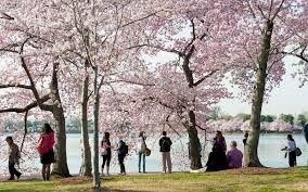 when is the american thanksgiving this year here u0027s when to catch cherry blossoms in all their glory in d c