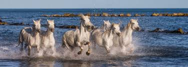 camargue white horse wallpapers white camargue horses galloping along the sea beach parc regional