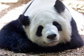 why pandas are black and white revealed in new study