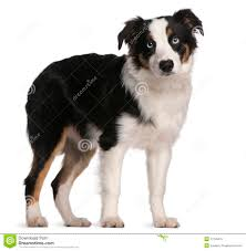 t shirt australian shepherd australian shepherd puppy 5 months old stock photo image 17255470