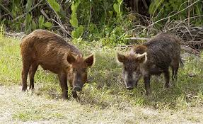 Hawaii wild animals images Feral pig wikipedia jpg
