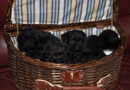affenpinscher havanese mix affenpinscher puppies for sale akc puppyfinder
