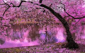 spring blooming trees pink blossoms of cherry river reflection in