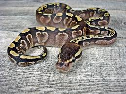 calico ghi mojave morph list world of ball pythons