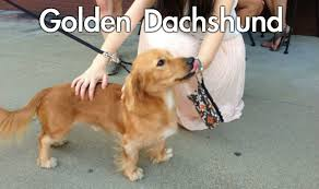 Weiner Dog Meme - 20 adorable mixed breed dogs you ve probably never heard of