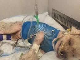 bichon frise golf head cover s f dog critically hurt in stern grove coyote attack sfgate