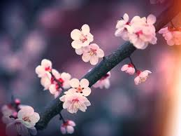 117 best almond blossoms images on almonds blossoms