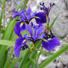 Sweet Flag Herb Iris Versicolor Wikipedia