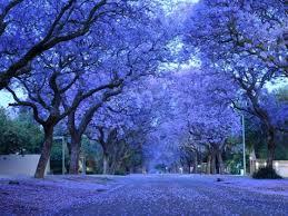 jacaranda the most beautiful tree callchristoday a ta