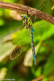 1452 best dragonflys images on pinterest dragonflies dragon