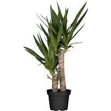 Yucca Wohnzimmer Palmen U0026 Palmenartige Pflanzen Online Kaufen Bei Obi