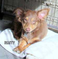australian shepherd weiner dog mix view ad australian shepherd dachshund mix dog for adoption