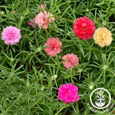 portulaca seed ornamental flowering plants true leaf market