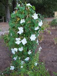 moon flowers fragrant flowers forum moonflowers starting to bloom now garden org