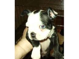 bedlington terrier san antonio boston terrier puppies in texas