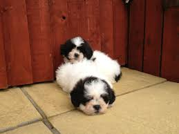 bichon frise dog breeders bichon frise x shih tzu puppies for sale 1 female llanelli