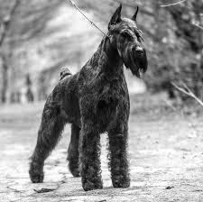 yarrow affenpinscher dn top 20 dogs westminster kennel club