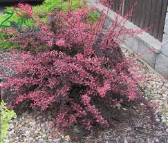 arbuste feuillage pourpre persistant arbustes archives pépinière brown pépinière brown