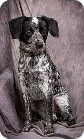 bluetick coonhound rescue illinois oreo adopted dog anna il jack russell terrier bluetick
