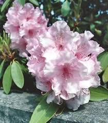 State Flower Of Montana - west virginia state flower the rhododendron the flower expert
