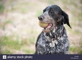 bluetick coonhound terrier mix coonhound stock photos u0026 coonhound stock images alamy
