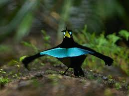 dance moves support evidence for new bird of paradise species