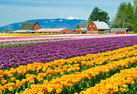 skagit valley tulip festival bloom map skagit valley tulip festival washington state