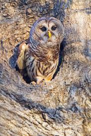 barred owl on tree cavity white rock lake sunset bay daniel