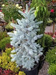 haegelenursery ornamental