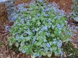 Us Zones For Gardening - jack frost u0027 brunnera for impact mark u0027s garden ruminations