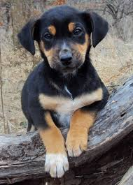 bluetick coonhound puppies near me black and tan coonhound puppies funny puppy u0026 dog pictures