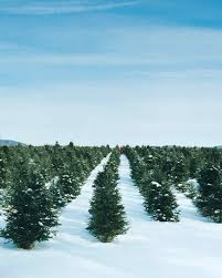 Pacific Northwest Christmas Tree Association - how to pick out a christmas tree martha stewart