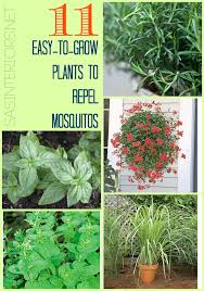 easy plants 11 easy to grow plants to repel mosquitos jenna burger