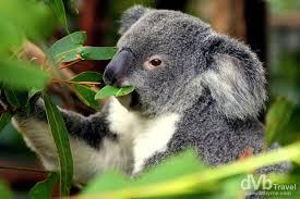 High Koala Meme - lone pine koala sanctuary brisbane australia worldwide