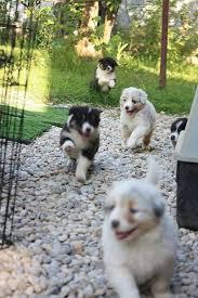 rocking k australian shepherds 41 best australian sheepdogs images on pinterest aussie puppies