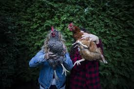 thinking about raising your own backyard chickens in toronto