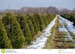 christmas tree farm stock photo image 35697190