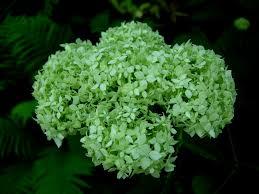 hay scented fern carolyn s shade gardens