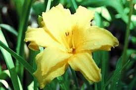 day lilies day lilies many varieties aspca