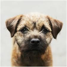 belgian shepherd gumtree puppies for sale in ireland puppies for sale dogs for sale pups