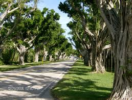 these banyan trees are on the way to jupiter lighthouse on jupiter