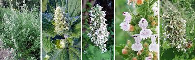 Catnip Flower - catnip nepeta cataria u2013 master gardener program